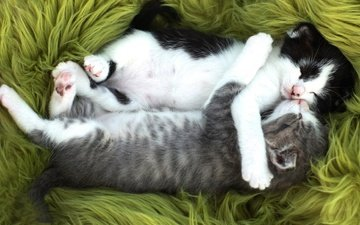 sleep, a couple, cats, kittens, fur, together, paws