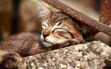 кот, мордочка, усы, кошка, сон, котенок