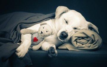 мордочка, медведь, сон, собака, мишка, игрушка, сердце, одеяло, плед, alessandro manco