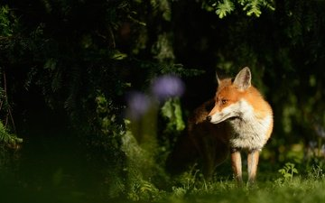 light, grass, needles, animals, muzzle, branches, glade, fox, shadow, ate