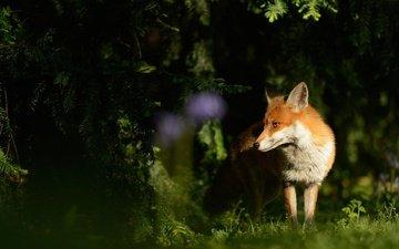 свет, трава, хвоя, животные, мордочка, ветки, поляна, лиса, тень, ели, лисичка