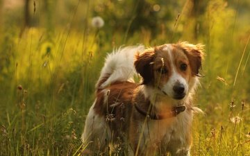 light, grass, nature, mood, field, summer, meadow, puppy, collar, red, the border collie