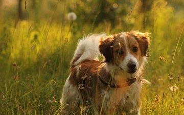 свет, трава, природа, настроение, поле, лето, луг, щенок, ошейник, рыжий, бордер-колли