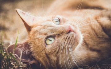 свет, кот, мордочка, усы, кошка, взгляд, зеленые глаза, боке