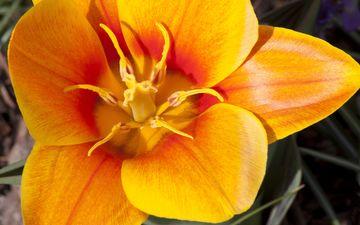 цветок, сад, тычинки, весна, тюльпан