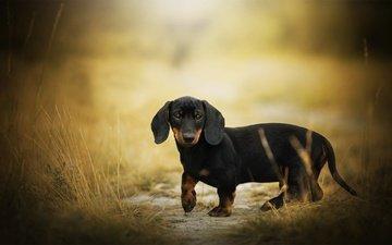 мордочка, взгляд, собака, такса, боке, eddie