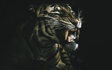 tiger, face, background, look, fangs, predator, black background, beast, wild cat