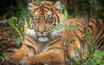 tiger, predator, animal, beast