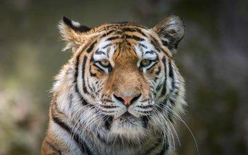 тигр, морда, портрет, усы, взгляд, хищник, дикая кошка