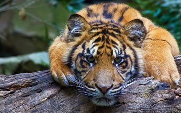 тигр, морда, взгляд, хищник, бревно, дикая кошка