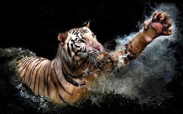 tiger, water, squirt, predator, black background, animal, paw