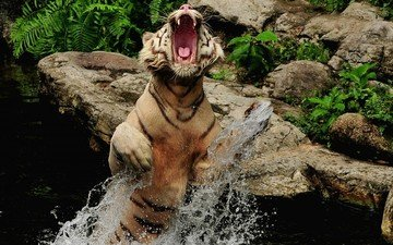 tiger, water, stones, squirt, jump, grin, mouth