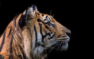 тигр, морда, усы, взгляд, хищник, профиль, черный фон, зверь, david whelan