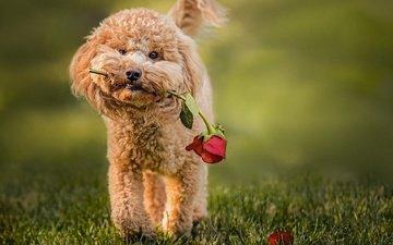 трава, цветок, роза, собака, животное, пес, пудель
