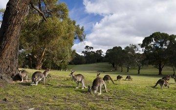 трава, деревья, кенгуру