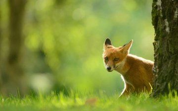 eyes, grass, tree, greens, forest, look, glade, fox, trunk