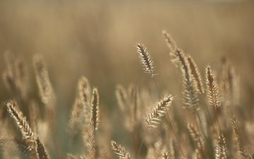 grass, background, summer, spikelets, to