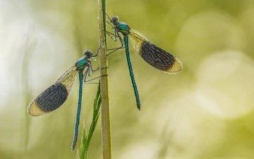 трава, насекомое, фон, крылья, стрекоза, стебель