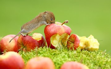 grass, fruit, apples, mouse, animal