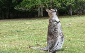трава, кенгуру