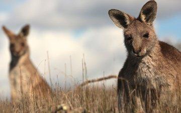 grass, kangaroo