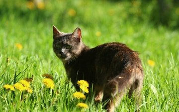 цветы, трава, кот, мордочка, усы, кошка, взгляд, одуванчики