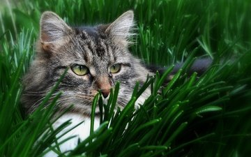 глаза, трава, кот, кошка, взгляд