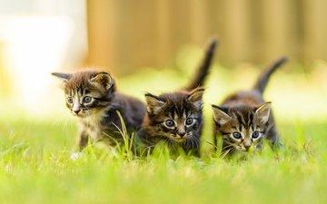 трава, усы, взгляд, коты, кошки, котята, мордочки, трио