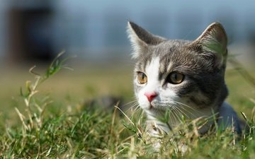 grass, cat, muzzle, mustache, look, kitty