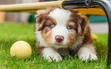 grass, muzzle, dog, puppy, the ball, australian shepherd, aussie, blue-eyed