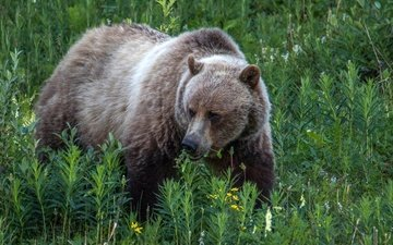 трава, природа, растения, медведь, бурый медведь