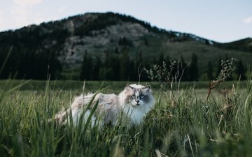трава, природа, кот, мордочка, взгляд, пушистый, голубые глаза