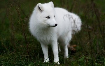 grass, nature, paws, fox, arctic fox