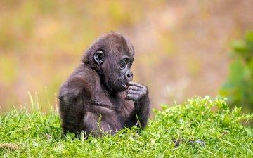 трава, природа, лето, животное, обезьяна, детеныш, горилла, примат