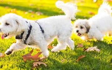 grass, nature, leaves, animals, puppy, dogs, bichon frise
