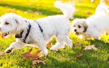 трава, природа, листья, животные, щенок, собаки, бишон фризе