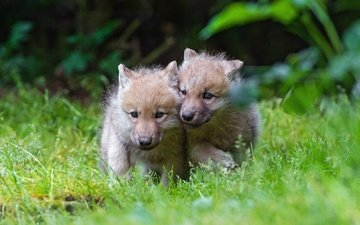 grass, nature, wolf, the cubs, the cub