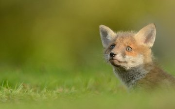 grass, nature, greens, background, animals, portrait, muzzle, fox