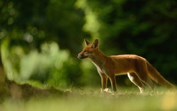 grass, nature, greens, forest, branches, red, glade, fox, tail, bokeh