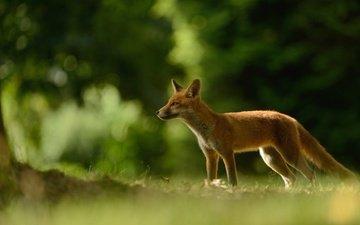 трава, природа, зелень, лес, ветки, рыжая, поляна, лиса, лисица, хвост, боке