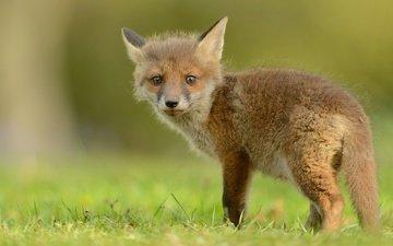 трава, природа, зелень, лиса, лисица, хвост, лисенок