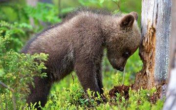 трава, природа, медведь, животное, ствол, детеныш, медвежонок