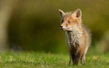 grass, nature, animals, glade, fox