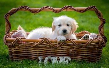трава, взгляд, собака, щенок, корзина, золотистый ретривер
