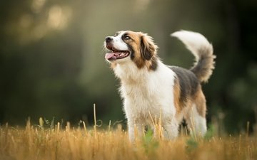 grass, dog, meadow, language, bokeh