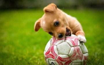 grass, dog, puppy, the game, animal, the ball