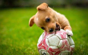 трава, собака, щенок, игра, животное, пес, мяч