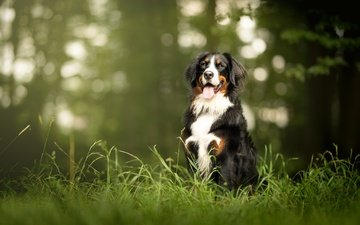face, grass, look, dog, language, bernese mountain dog