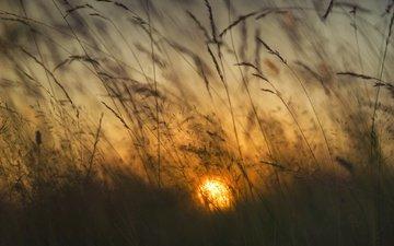 grass, the sun, dawn, spikelets