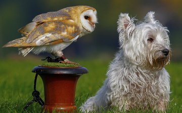grass, owl, nature, dog, bird, animal, the barn owl, the west highland white terrier